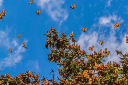 Des papillons monarques en plein vol.