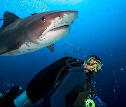 Un plongeur qui nage près d'un requin.