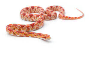 Un Serpent des blés.