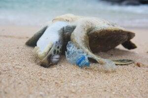 Une tortue morte sur une plage.