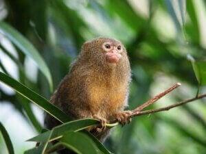 Un ouistiti pygmée fait partie des plus petits animaux du monde.