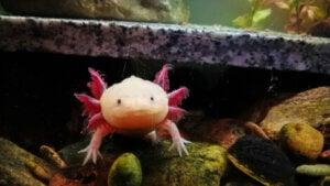 Un Axolotl dans un aquarium.
