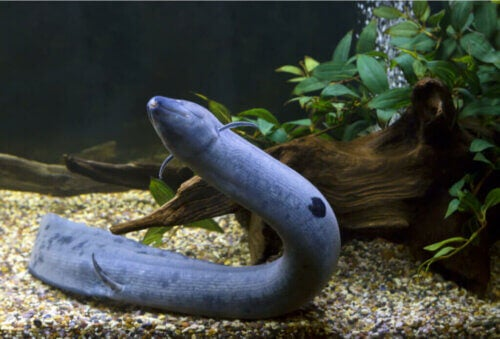 Lepidosiren Paradoxa, un poisson avec des poumons
