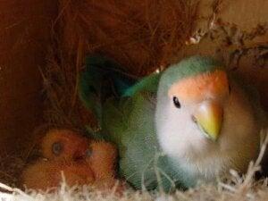 Un nid d'apagornis.