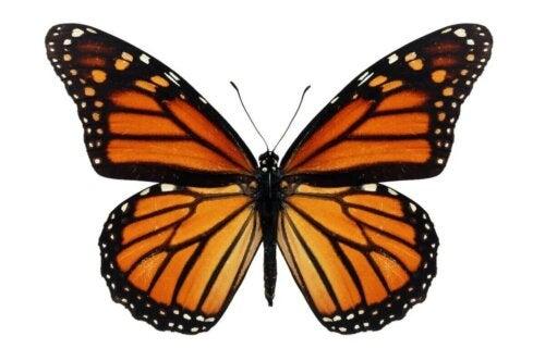 Il s'agit d'un papillon monarque.