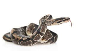 Le python fait partie des reptiles interdits.