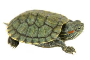 Une tortue sur fond blanc.