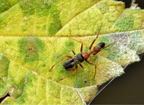 Myrmarachne : des araignées qui ressemblent à des fourmis
