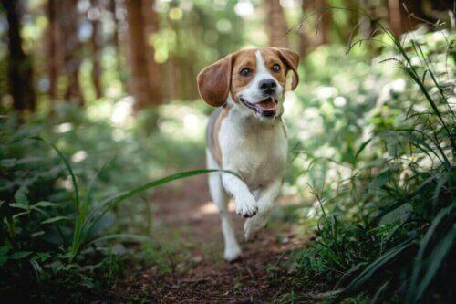 Les maladies du beagle les plus courantes