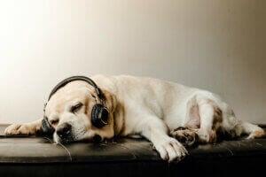 Un chien qui porte un casque sur ses oreilles.