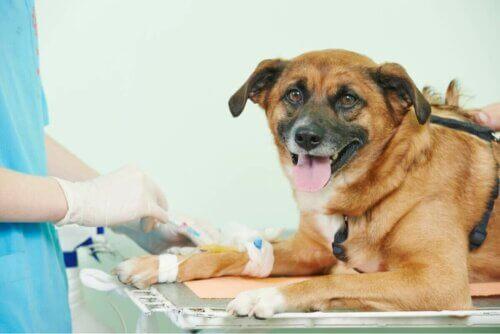 Un chien chez le vétérinaire.