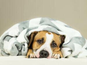 Un chien malade sous une couverture.
