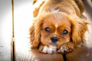Un chien triste couché au sol.