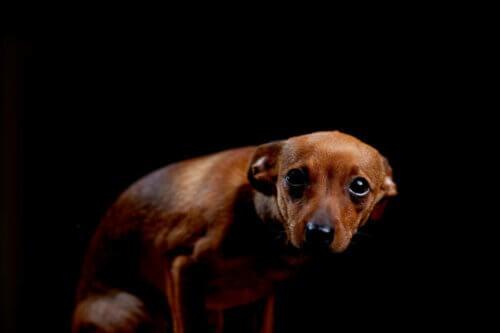 Un chien triste sur fond noir.