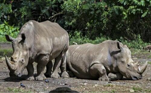 Rhinocéros de Java : alimentation et caractéristiques
