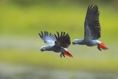 Deux Gris du Gabon qui volent.