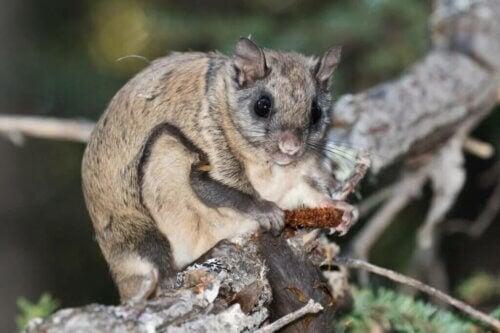 Des milliers d'écureuils volants victimes d'un trafic illégal