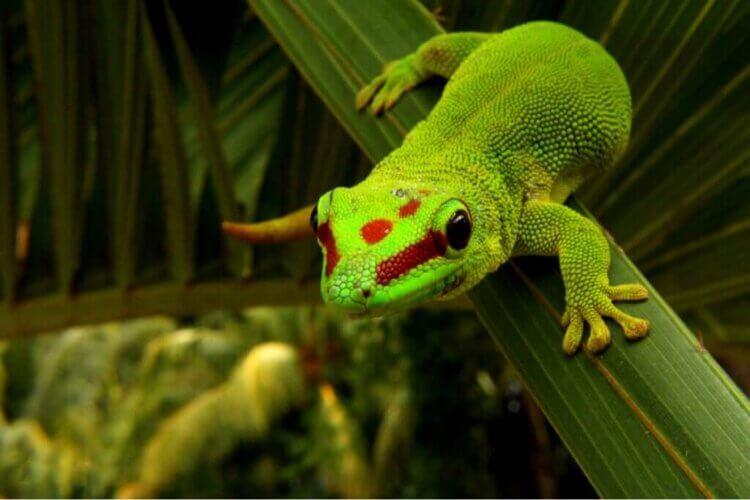 Phelsumes ou geckos diurnes : soins et caractéristiques
