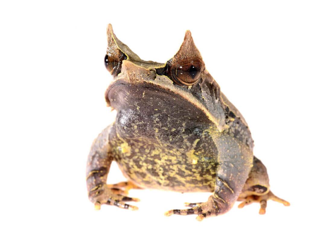 Grenouille cornue asiatique : la grenouille feuille