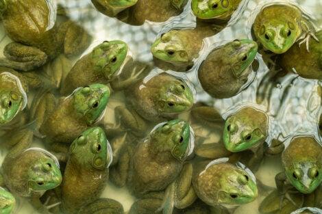 Des grenouilles invasives.