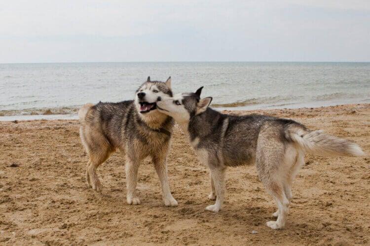 Les maladies sexuellement transmissibles chez les chiens