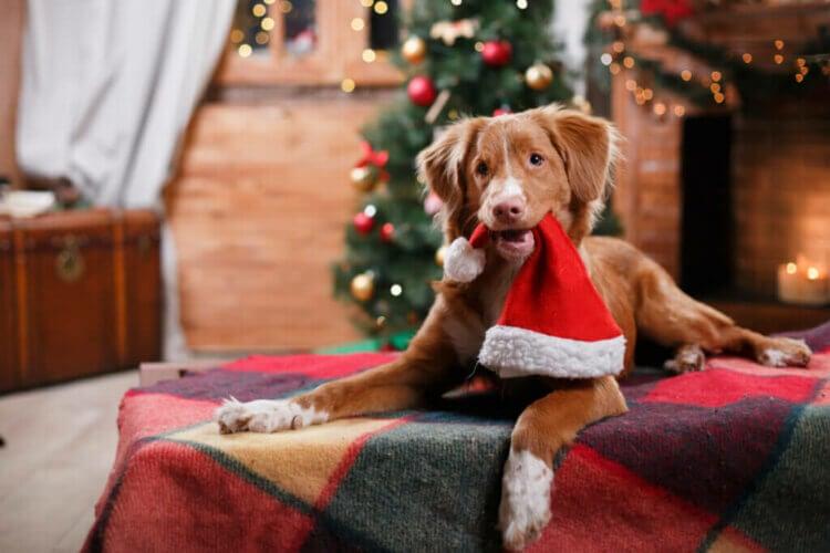 Fêtes de fin d'année : la musique peut-elle détendre les chiens  ?