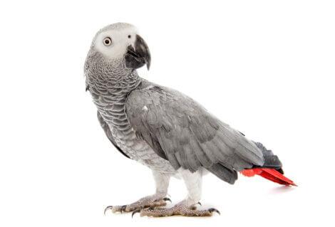 Un perroquet gris.
