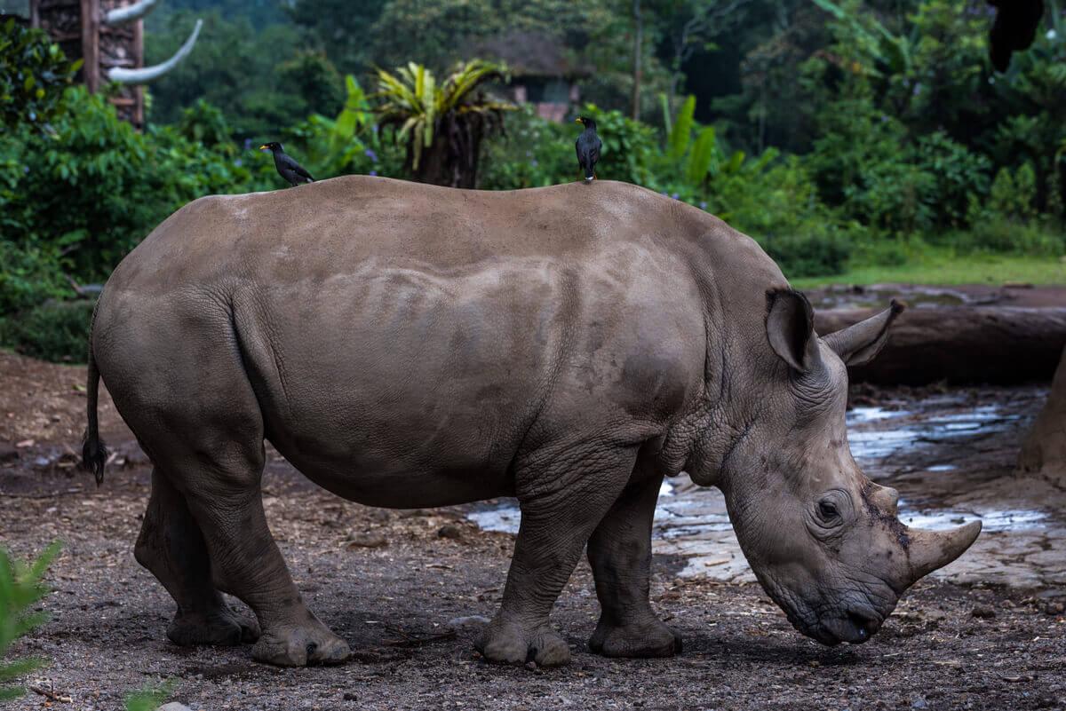 Le rhinocéros dans son habitat naturel.