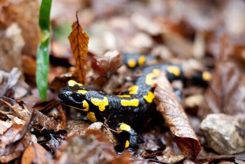 Les salamandres ont-elles des champignons ?