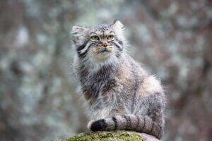 Un chat de Pallas dans son habitat.