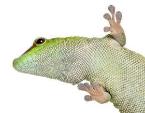 Un gecko diurne sur fond blanc.