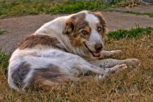 Comment traiter l'arthrite chez les chiens ?