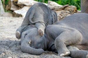 Un bébé éléphant asiatique.