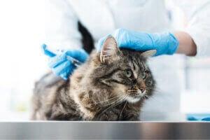 Un chat chez le vétérinaire.