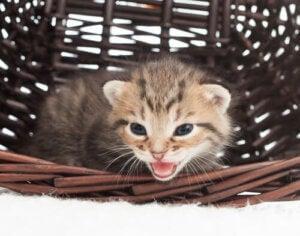 Un chat qui miaule.