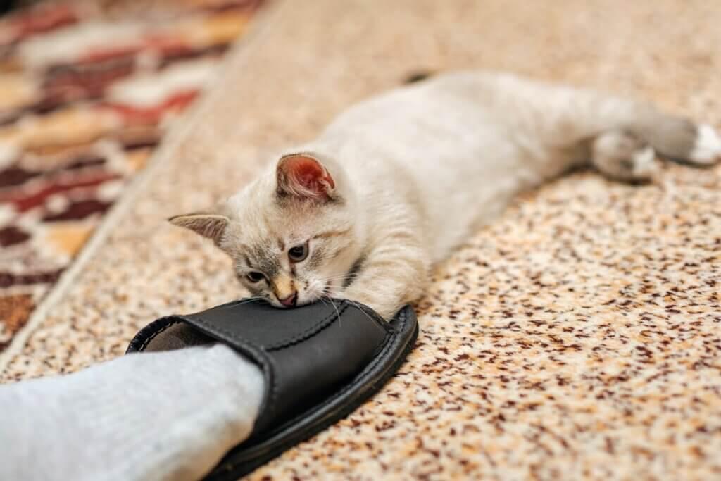 Pourquoi les chats mordent-ils les chevilles ?