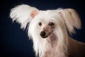 Un chien chinois à crête.