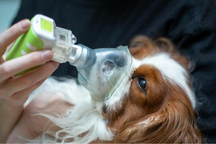 Comment traiter l'œdème pulmonaire chez le chien ?