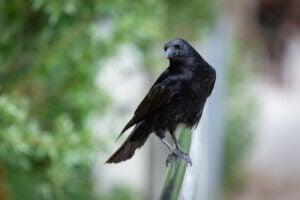 Les corbeaux et leurs proches méritent-ils d'être considérés comme malveillants ?
