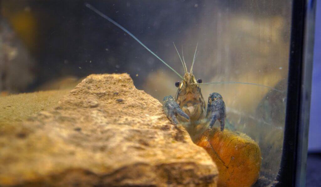 Le crabe marbré, un animal qui se clone