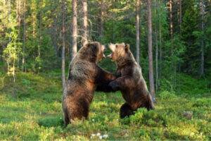 Deux ours en plein combat.