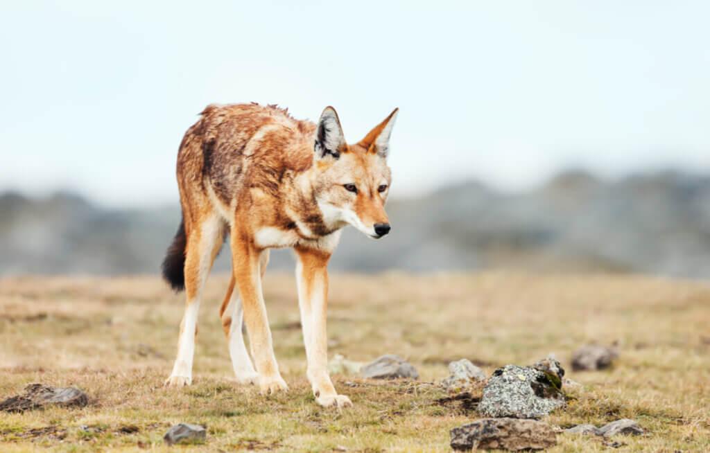Loups en danger d'extinction : les cas du loup rouge et du loup d'Ethiopie