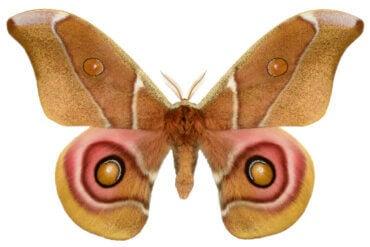 Les papillons de nuit et le camouflage acoustique