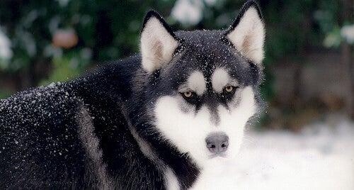 Les races de chiens les plus anciennes