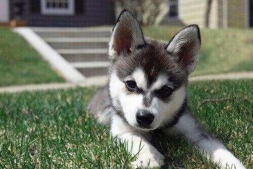 10 races de chiens aux allures de peluche