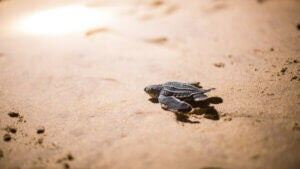 Une tortue Luth sur la plage.