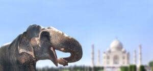Un éléphant d'Asie.