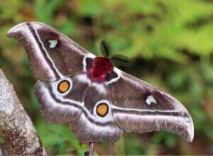 Un papillon sourd.