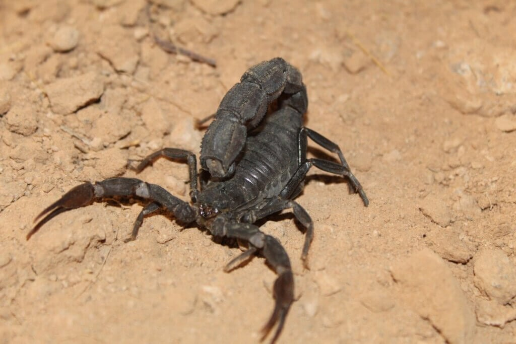 Androctonus bicolor (scorpion) : habitat et caractéristiques