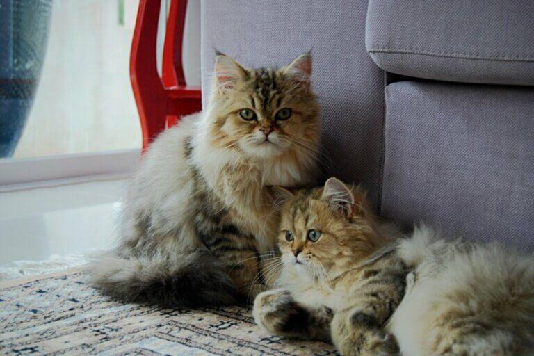 Y a-t-il des chats jumeaux ?